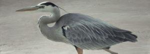 robert bateman heron