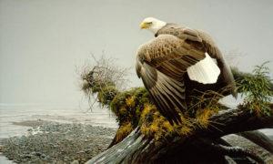 bateman eagle painting